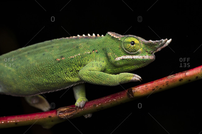 Side view closeup of amazing chameleon sitting on twig on black background.