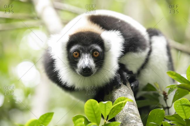Nice lemur among the leaves of the tree
