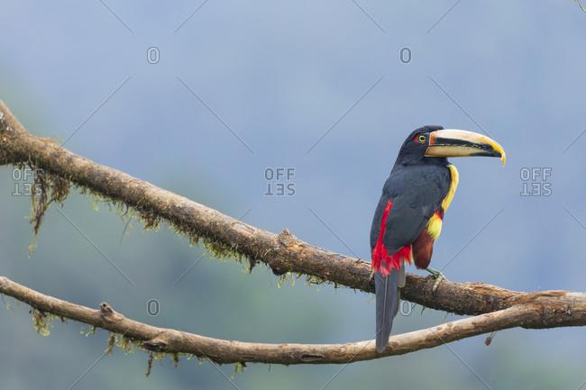 Beautiful toucan sitting on tree