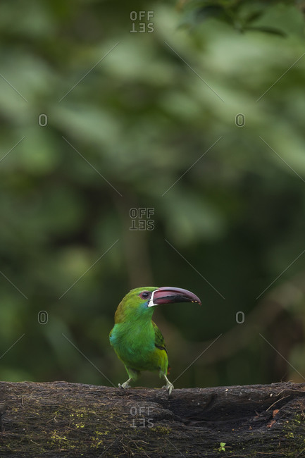 Red-headed toucan in the tree