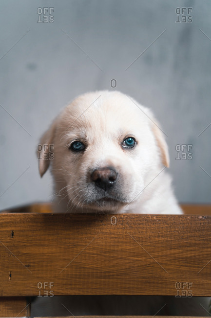 Cute pup of Golden Retriever sitting in wooden box