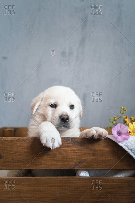 Cute pup of Golden Retriever sitting in wooden box with flowers in modern flat