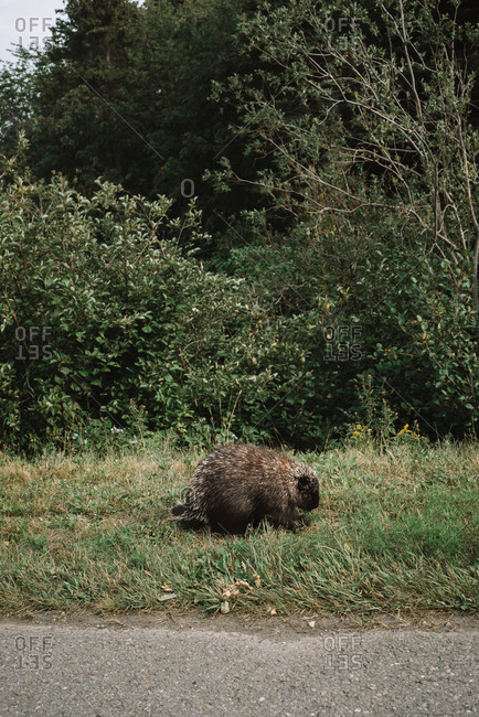 Brown beaver of natural habitat in La Mauricie National Park sitting on green grass of roadside