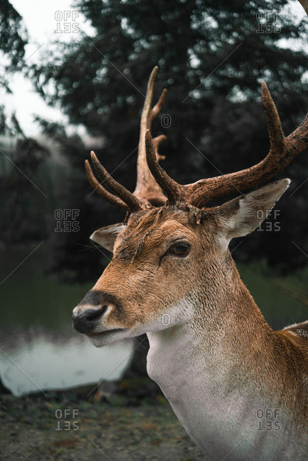 Side view of wild spotted deer with antlers pasturing in woods near pond on cloudy day