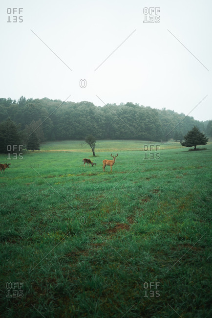 Flock of wild deer pasturing in lush field near forest in cloudy weather