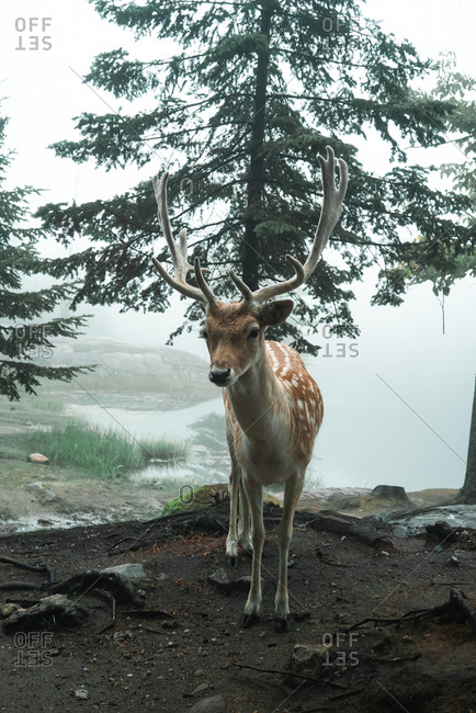 Back view of wild male spotted deer pasturing in woods during misty morning