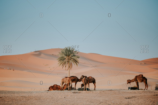 Caravan of camels drinking water and resting near palm tree growing among sandy dunes against cloudless blue sky in desert in Morocco
