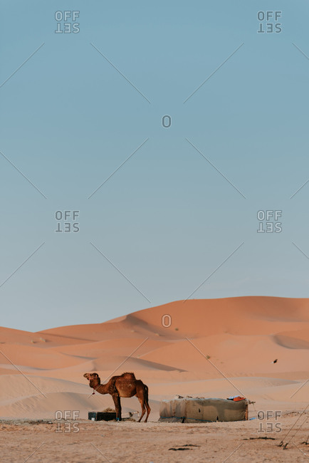 Camel resting among sandy dunes against cloudless blue sky in desert in Morocco