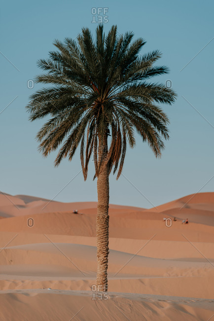 African landscape with lonely palm tree growing amidst sandy dunes in desert against blue sky in sunny day in Morocco