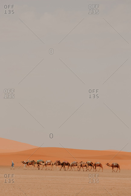 Side view of row of camels walking with unrecognizable person on hot sand with harness in sunny desert in Morocco