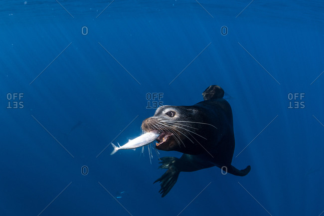 Sea lions hunting and feeding on mackerel baitballs