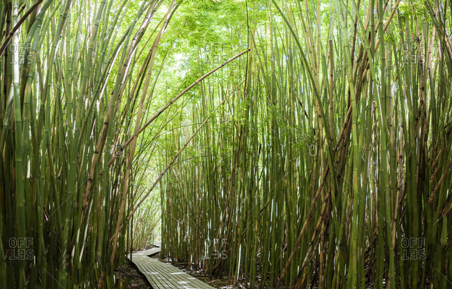 Dense bamboo forest shading walkway, Waipipi Trail, Maui, Hawaii