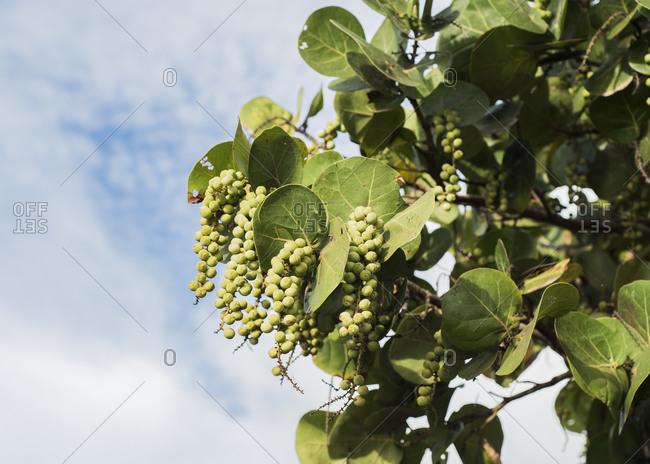 Tree branch bearing fruit - Offset