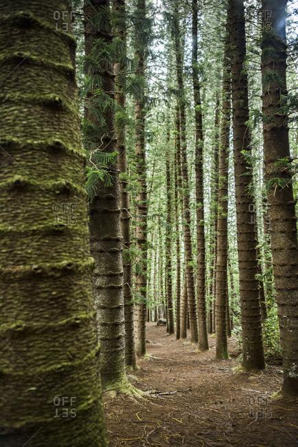 Straight tall trees on Kuilau Ridge Trail, Kauai, Hawaii