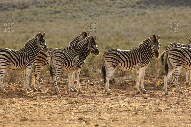 Dazzle of zebras in nature reserve, Touws River, Western Cape, South Africa