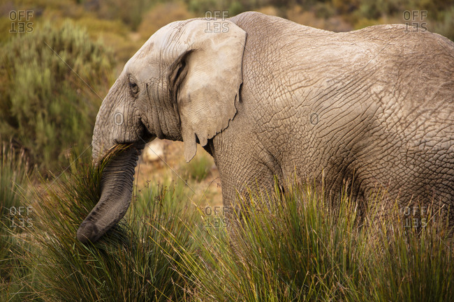 Elephant grazing in nature reserve, Touws River, Western Cape, South Africa