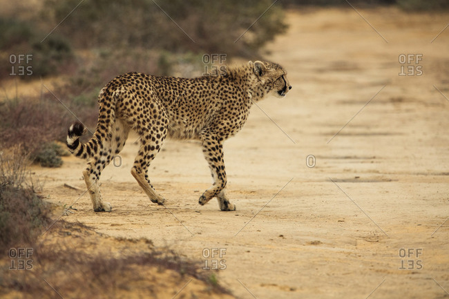 Cheetah crossing gravel trail in nature reserve, Touws River, Western Cape, South Africa