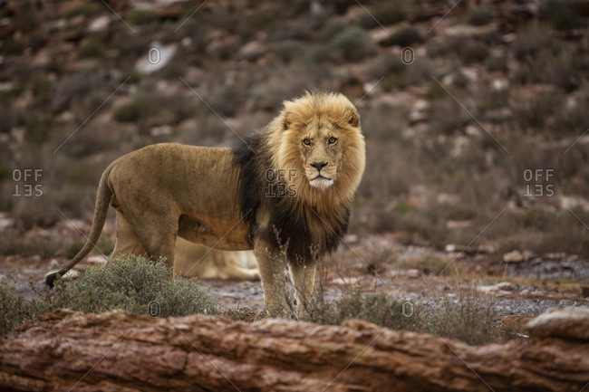 Lion in nature reserve, Touws River, Western Cape, South Africa