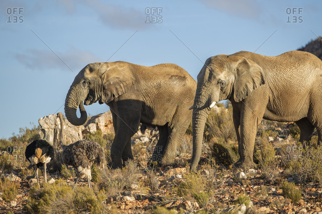 Elephants and ostriches in nature reserve, Touws River, Western Cape, South Africa