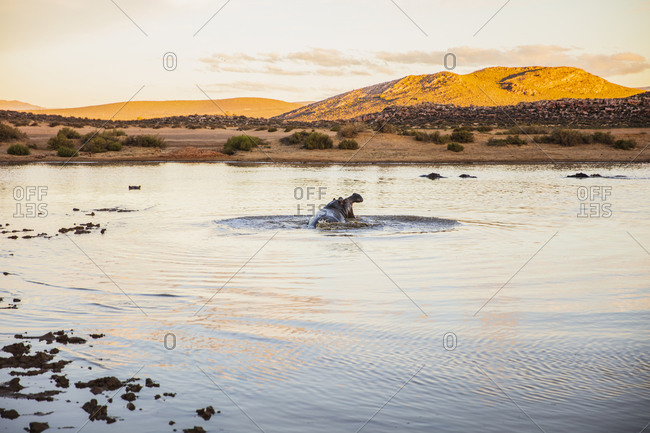 Hippopotamus with mouth wide open in river, Touws River, Western Cape, South Africa
