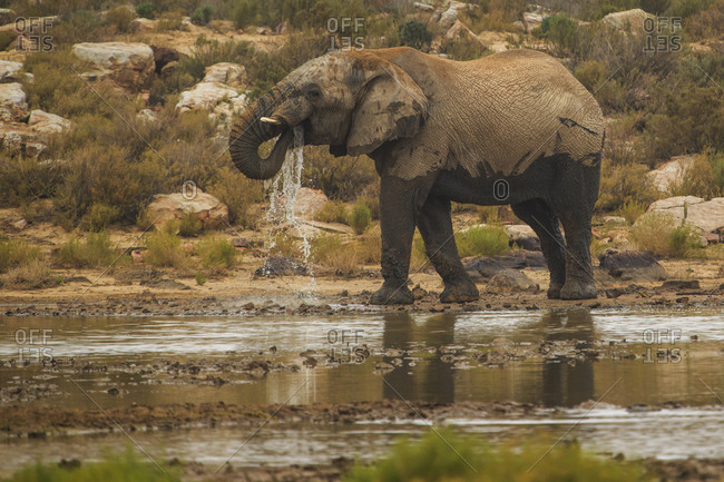 Elephant drinking water in river, Touws River, Western Cape, South Africa