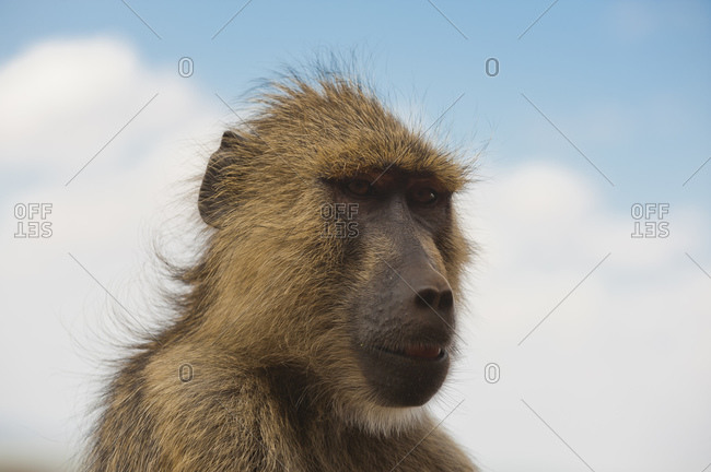 Yellow baboon (Papio hamadryas cynocephalus), Tsavo East National Park, Kenya