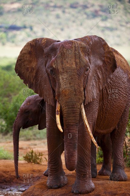 African elephant (Loxodonta africana) and calf, Tsavo East National Park, Kenya