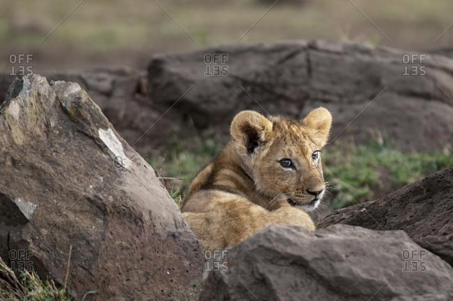 Lion cub (Panthera leo), Masai Mara National Park, Kenya