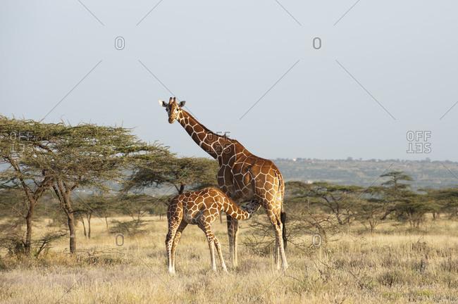Masai Giraffe (Giraffa camelopardalis) and calf, Samburu, Kenya