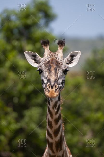 Masai Giraffe calf (Giraffa camelopardalis), Masai Mara National Reserve, Kenya