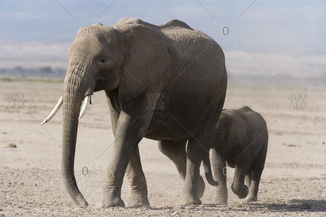 African elephant (Loxodonta africana) and cub, Amboseli National Park, Kenya