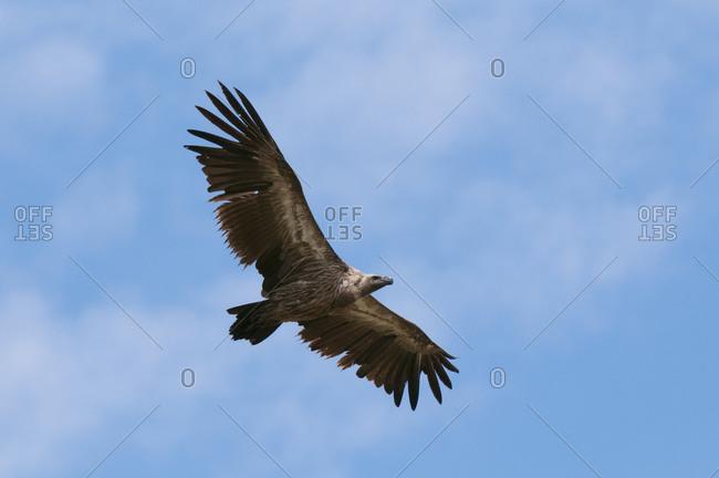 Vulture flying, Masai Mara National Reserve, Kenya