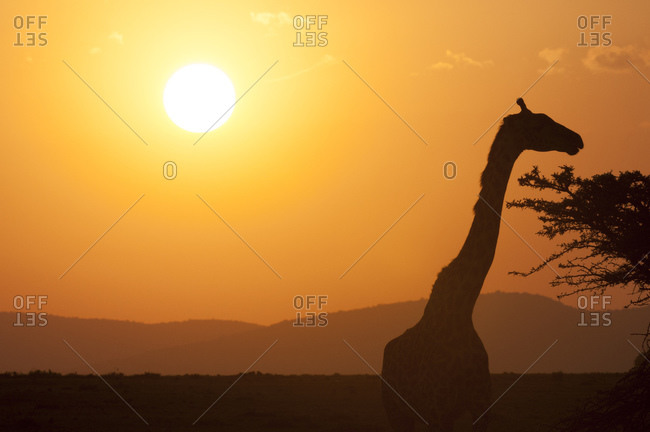 Masai giraffe (Giraffa camelopardalis) at sunset, Masai Mara National Reserve, Kenya