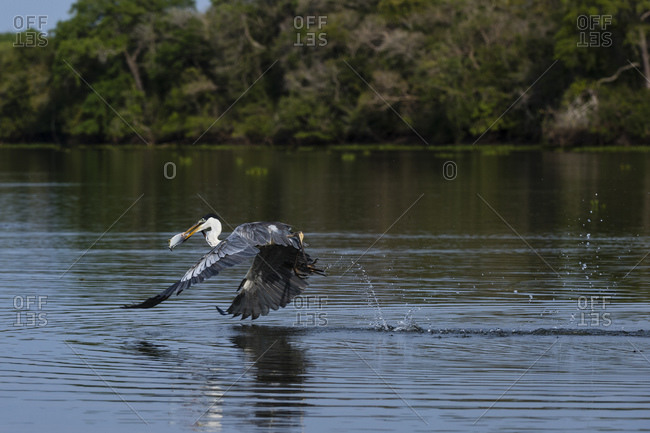 Cocoi heron (Ardea cocoi) flying past river surface, Pantanal, Mato Grosso, Brazil