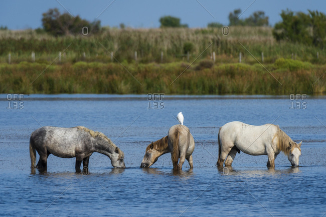 Camargue wild horses in water, Camargue, France