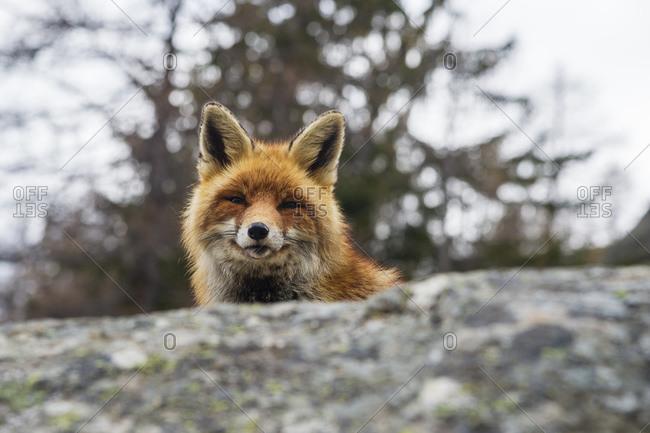 Red fox (Vulpes vulpes), Gran Paradiso National Park, Aosta Valley, Italy