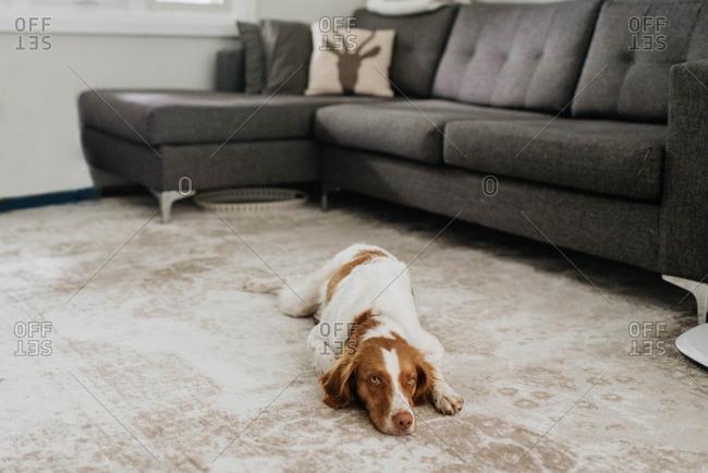 Pet dog resting on carpet in living room