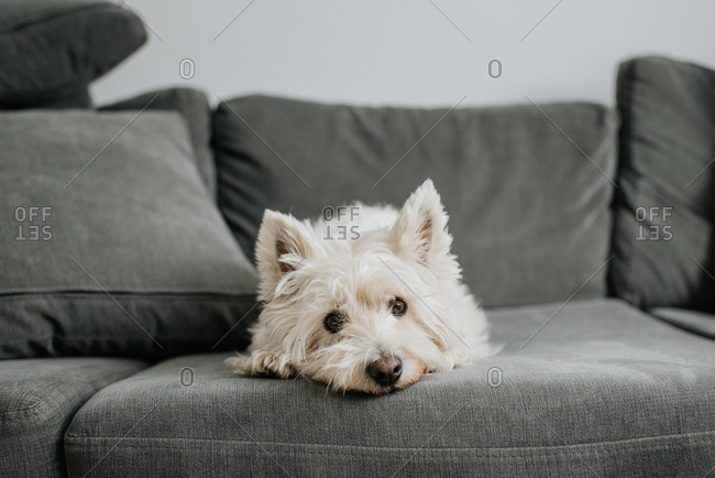 Pet terrier dog resting on couch in living room