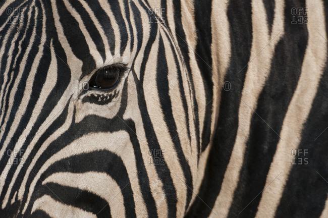 Close up of burchell's zebra (Equus burchellii), Etosha National Park, Namibia