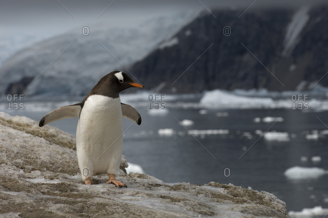 Gentoo penguin, Neko Harbor, Gerlache strait, Antarctica, Antarctic Peninsula