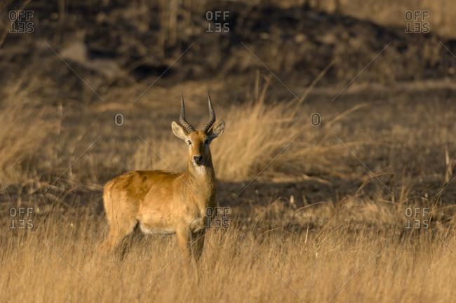 Puku at sunrise, Busanga Plains, Kafue National Park, Zambia