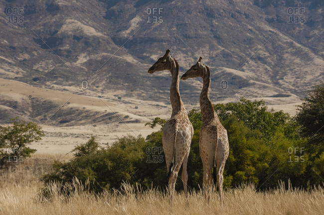 Pair of giraffes (Giraffa camelopardalis), Skeleton Coast National Park, Namibia