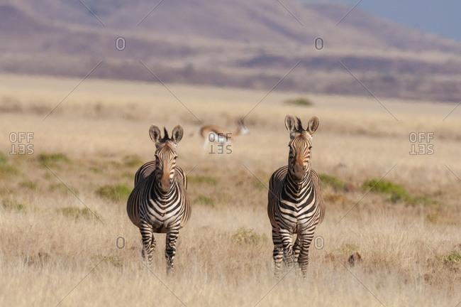 Pair of hartmann's mountain zebras (Equus zebra hartmannae), Palmwag Concession, Damaraland, Namibia