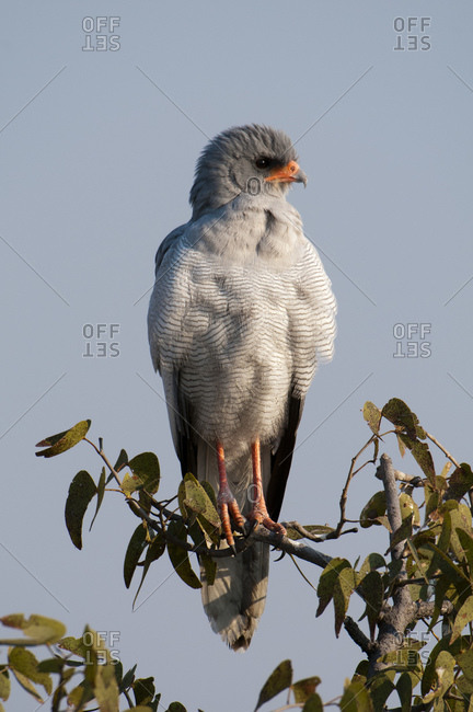 Pale Chanting-Goshawk (Melierax canorus) perched on branch, Etosha National Park, Namibia