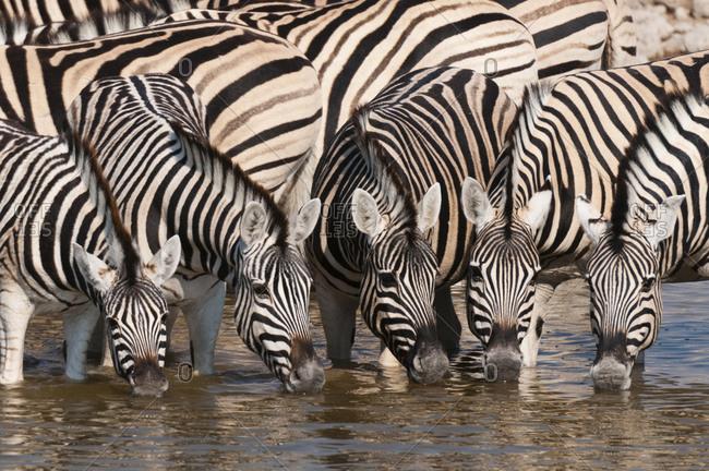 Zeal of burchell's zebras (Equus burchellii) drinking at waterhole, Etosha National Park, Namibia