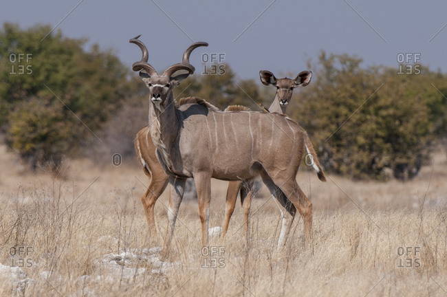 Pair of greater kudus (Tragelaphus strepsiceros), Etosha National Park, Namibia