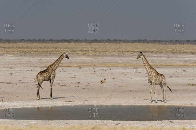 Pair of giraffes (Giraffa camelopardalis) at waterhole, Etosha National Park, Namibia
