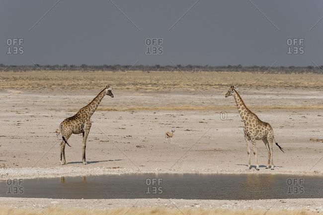 Pair of giraffes (Giraffa camelopardalis) at waterhole, Etosha National Park, Namibia