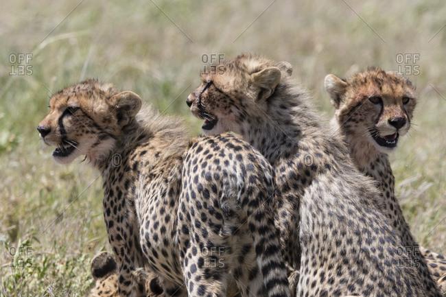Cheetah cubs (Acynonix jubatus), Seronera, Serengeti National Park, Tanzania