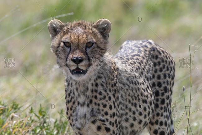 Cheetah cub (Acynonix jubatus), Seronera, Serengeti National Park, Tanzania